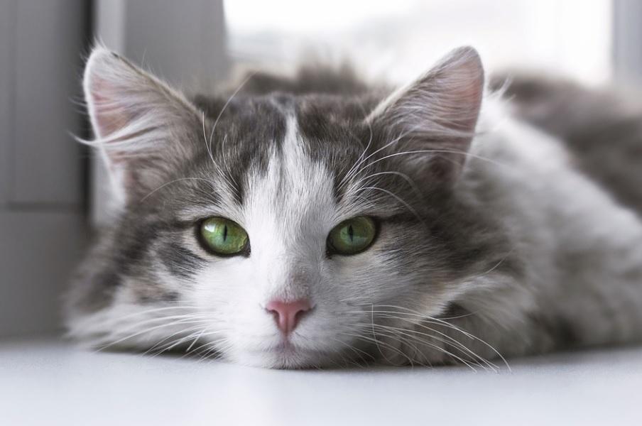 races de chat adaptées appartement