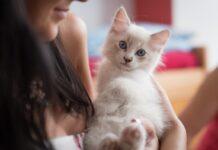 races de chat câlines