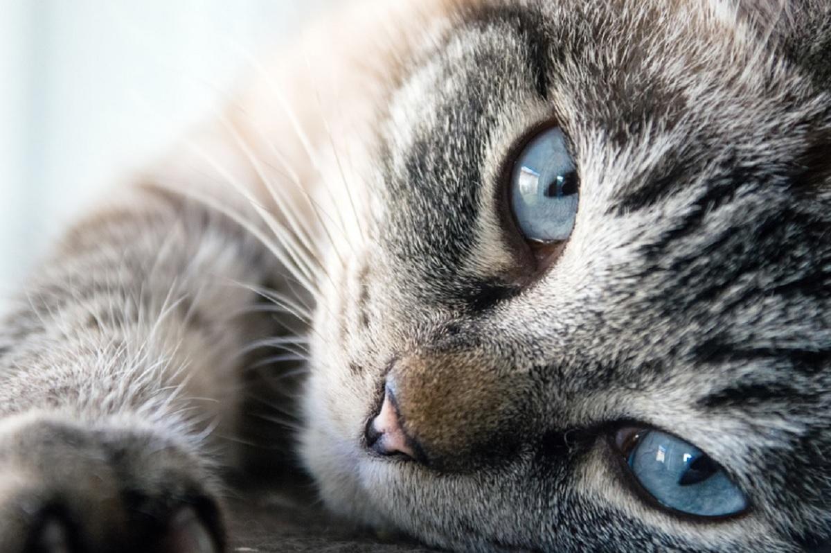 races de chat les plus gentilles
