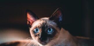 races de chat les plus mignonnes