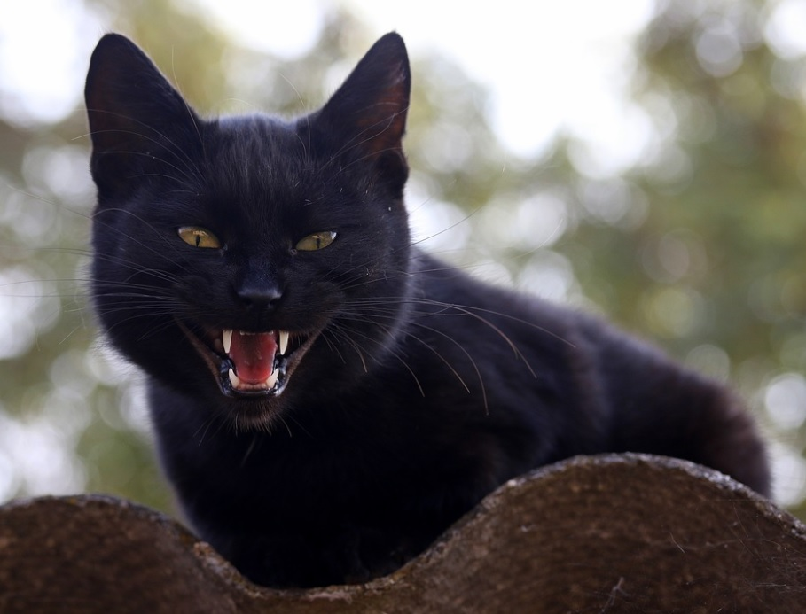 signes que votre chat est énervé